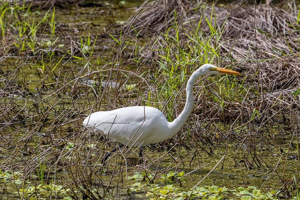 Reiher im Myakka River State Park Florida