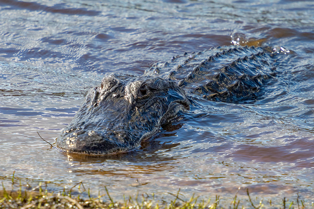 Alligator im Myakka River State Park Florida