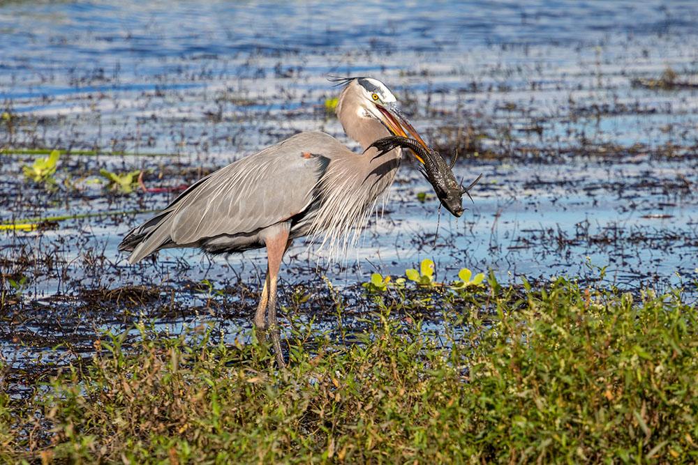Reiher fängt einen Fisch im Myakka River State Park Florida