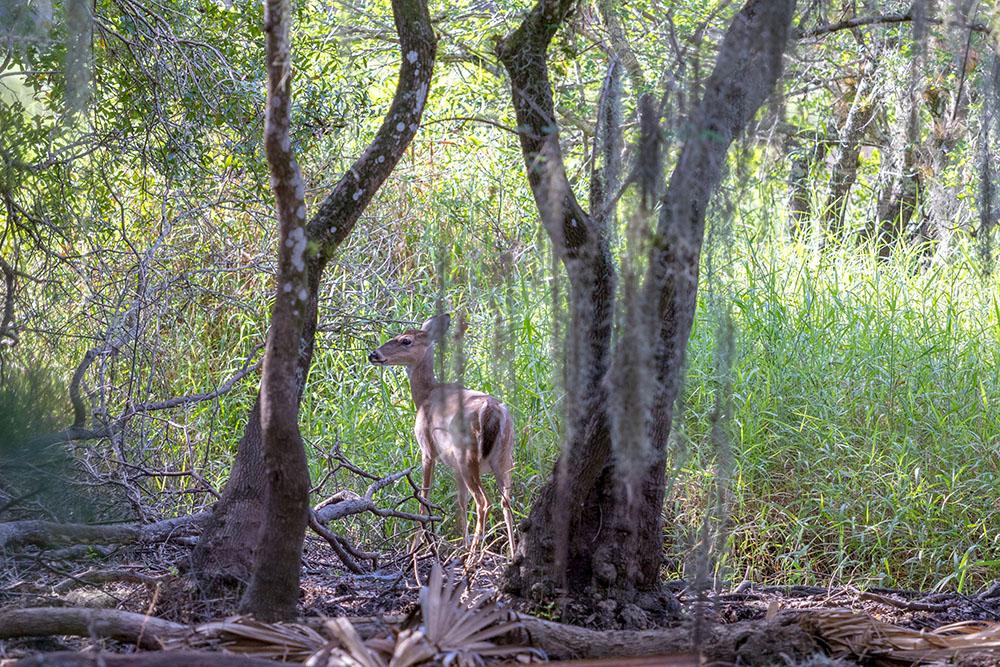 Weißwedelhirsch im Myakka River State Park Florida