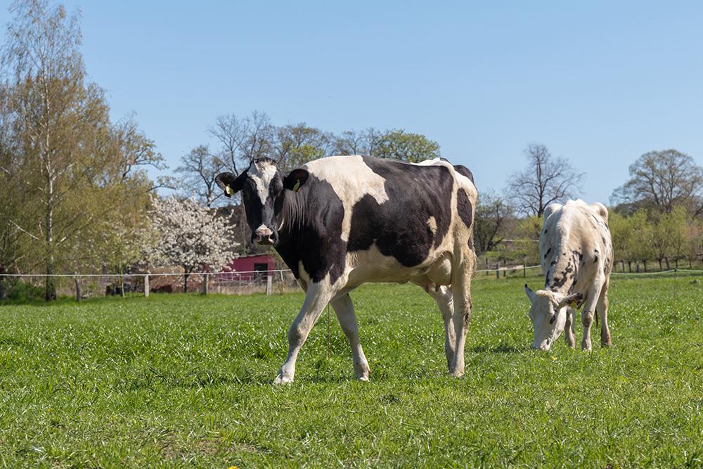 Terra Track Wandern im Osnabrücker Land mit Kuh