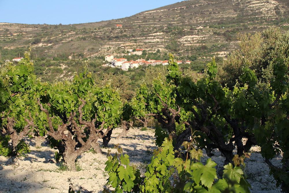 Auf Zypern wird vor allem im Gebirge des Troodos Wein angebaut.