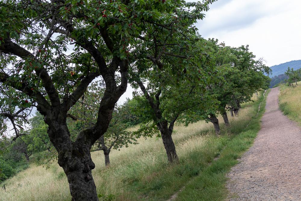 Kirschbäume am Hamburger Wappen – Harzer Wandernadel Stempelstelle HWN 74